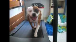 Dog Staffordshire Bull Terrier Training And More H