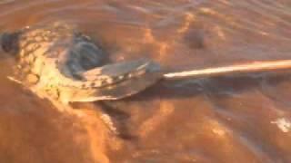Capturando arraia no Rio Tocantins (Ecologicamente correto)