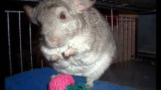 PICO the Chinchilla asks for your VOTE (2010 CHINCHILLA OF THE YEAR)