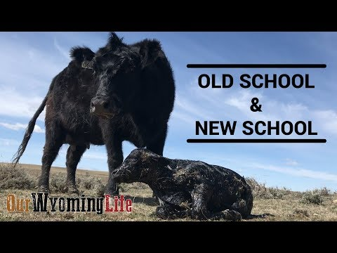 Calving and Technology on the Ranch