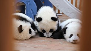GLOBALink | How to prevent giant pandas from getting sick?