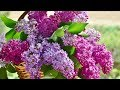 """Peaceful Relaxing Instrumental Music, Meditation and Calm Music """"Lilac Mountain"""" by Tim Janis"""
