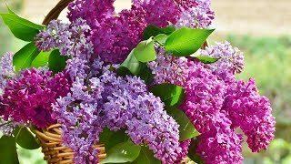"Peaceful Relaxing Instrumental Music, Meditation and Calm Music ""Lilac Mountain"" by Tim Janis"