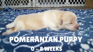 Puppy Transformation | Pomeranian Baby Growing from 0-8 Weeks