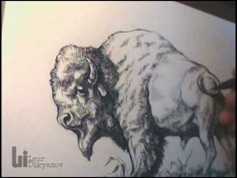 Drawing An American Buffalo Bison By Igor Lukyanov Youtube