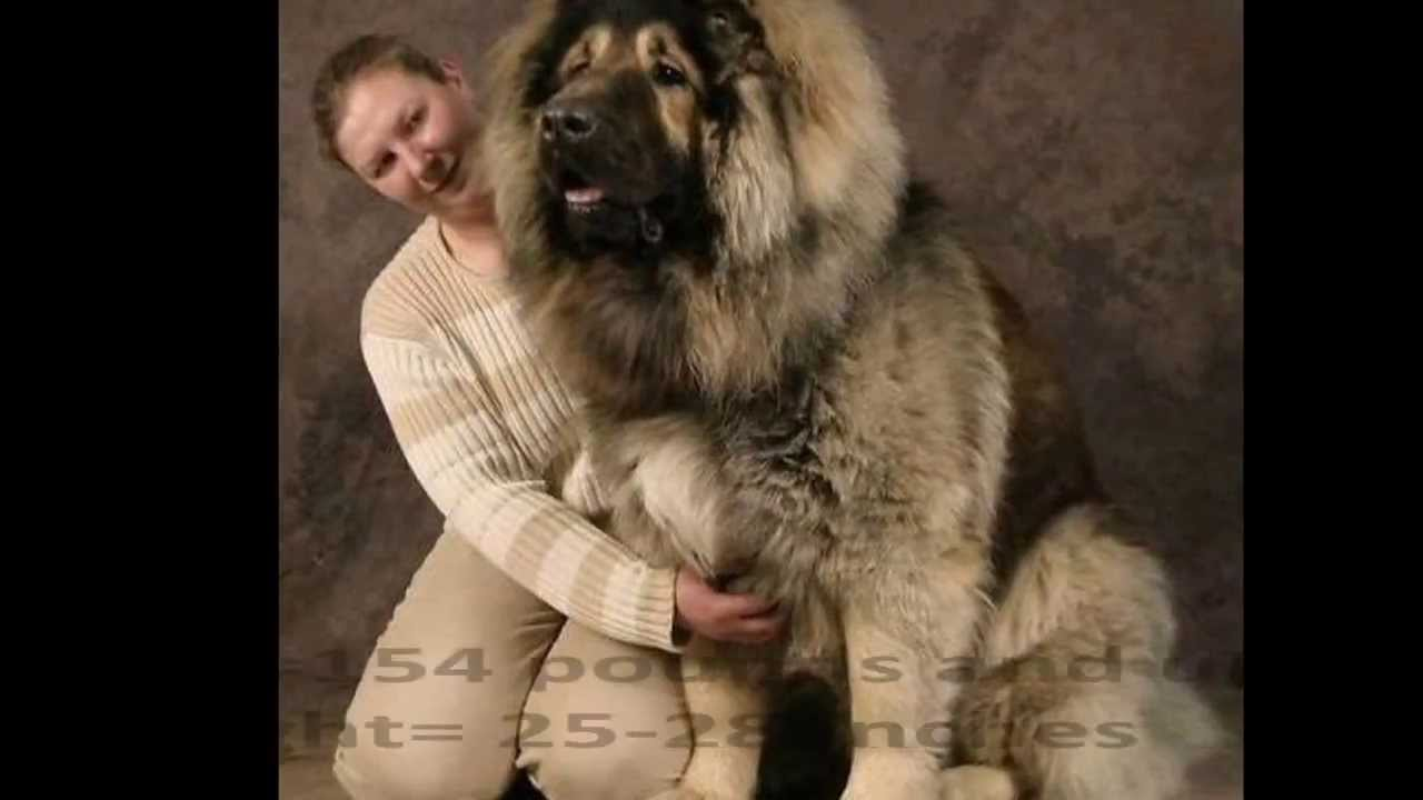Top Best And Biggest Guard Dogs In The World YouTube - 10 of the worlds biggest pets