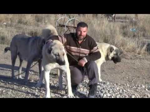Kangal köpekleri, Cumhurbaşkanlığı Külliyesinin Korunmasına Talip
