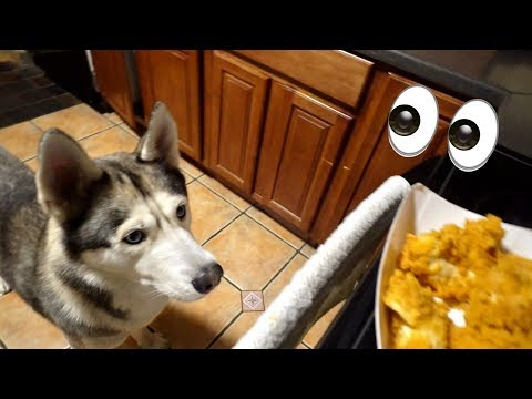 What Late Night Snack Begging Looks Like with My Husky!
