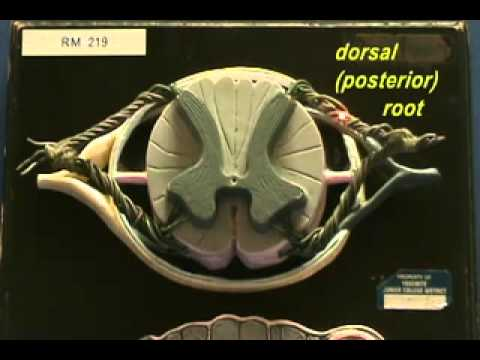 Spinal Cord Medulla spinalis