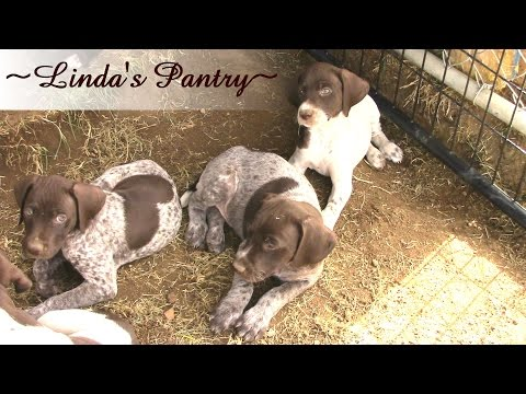 ~2015 6 Week Old German Shorthair Puppies With Linda's Pantry~