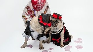 Behind The Scenes With Dfw Pug Rescue