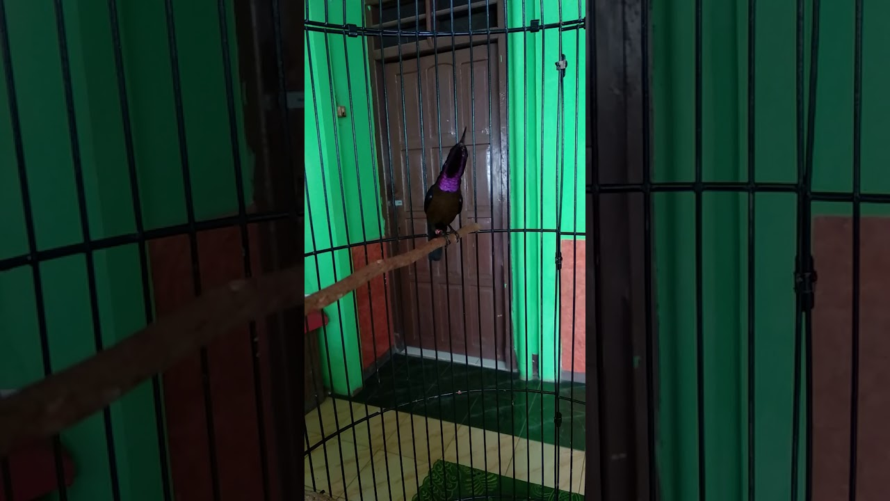 Konin Kolibri Ninja Gacoor Nagen Full Isian Youtube
