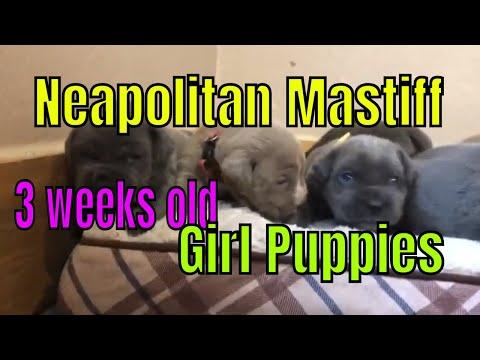 The Girls ~ Neapolitan Mastiff puppies are 3 weeks old 🌸