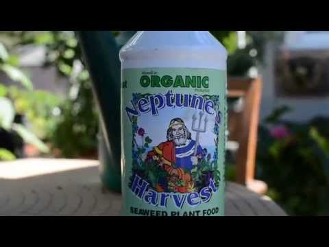 Neptune's Harvest  organic seaweed liquid plant food review.