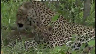 Leopard i jego młode - świat zwierząt Afryki ,,Safari
