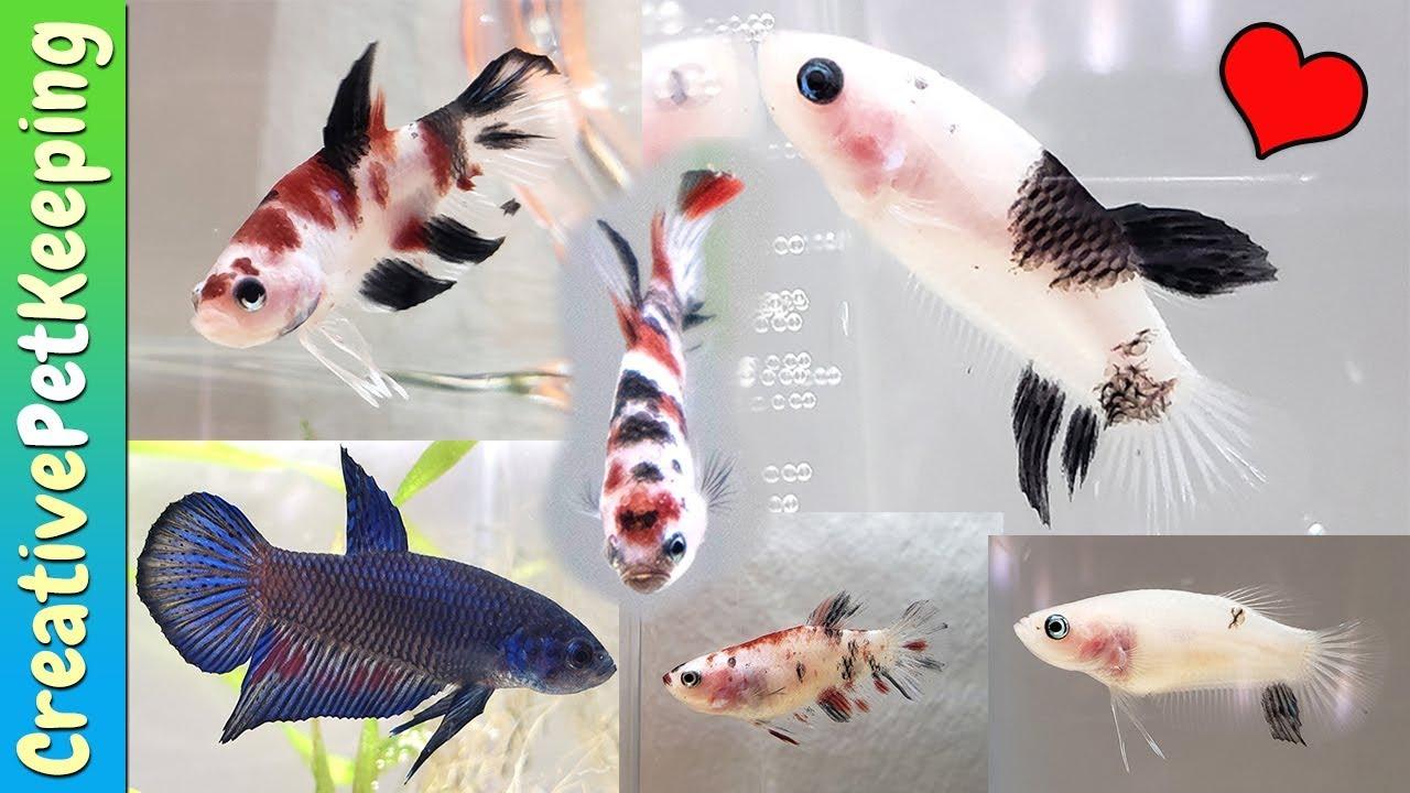 Beautiful Betta Fish For SALE!!   USA Betta Breeder