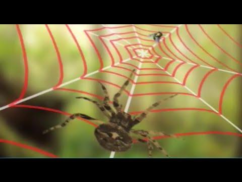 Почему пауки не попадаются в собственные сети?