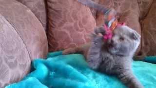 Вислоухий голубой котенок-L