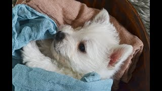 THISTLEBERRY WESTIES PUPPIES PLAYTIME AT 6 WEEKS OLD  SPRING 2018 LITTER