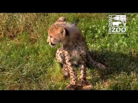 Cheetah Cub Donni and Puppy Moose Play - Cincinnati Zoo