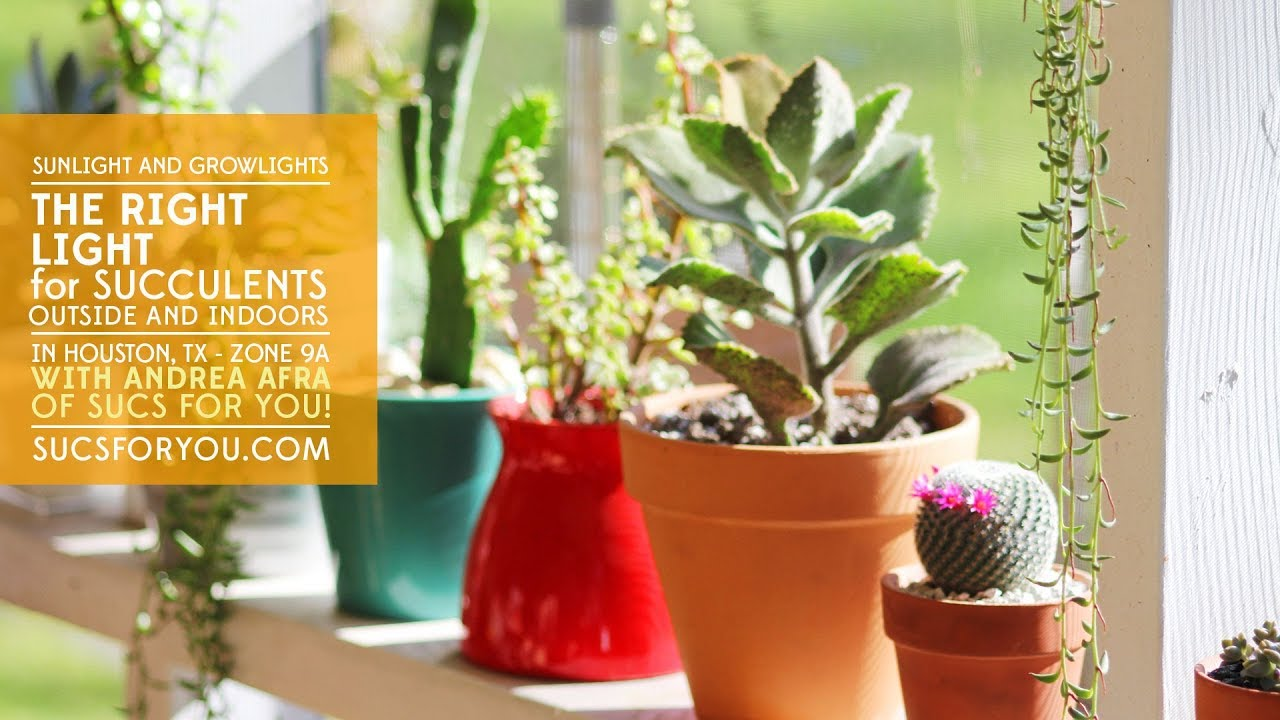 The Right Light For Succulents Outside Indoors Sunlight And Grow Lights