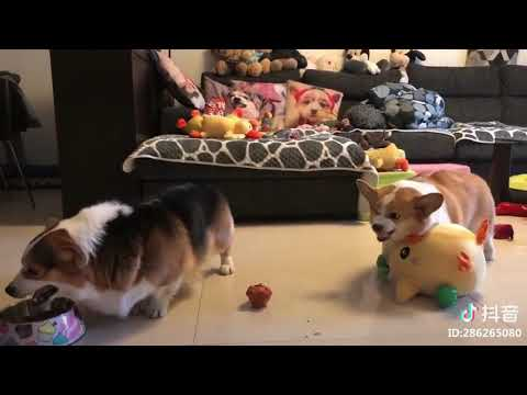 JT - These Corgi Pups are Not Happy