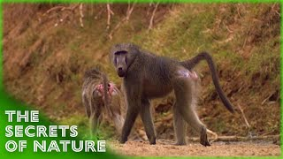 Baboons - The Whole Story S01E11 - The Secrets of Nature
