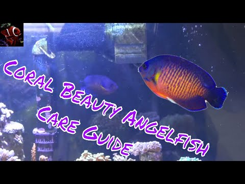 Coral Beauty Angelfish Care Guide