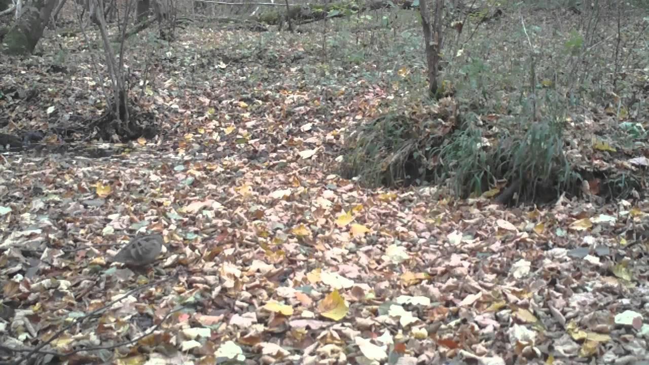 Bécasse(s) des bois prise(s) au pi u00e8ge vidéo ! YouTube # La Soissonnaise Des Bois