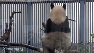2020/1/26 (2) お背中ピンッの木の上シャンシャン   Giant Panda Xiang Xiang