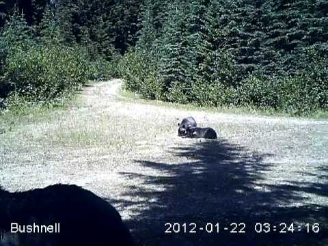 Selkirk Mountain grizzly bears
