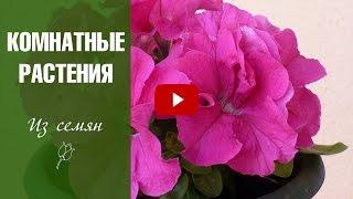 видео Выращивание из семян, выращивание цветов из семян