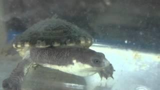 ナガクビガメ属その3