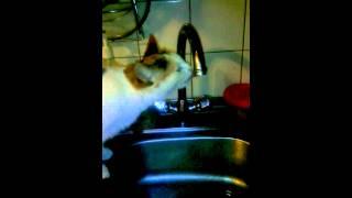 Кошка пьёт воду с крана! Прикол!!!