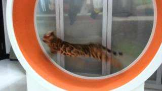 Running Fast on Cat Exercise Wheel