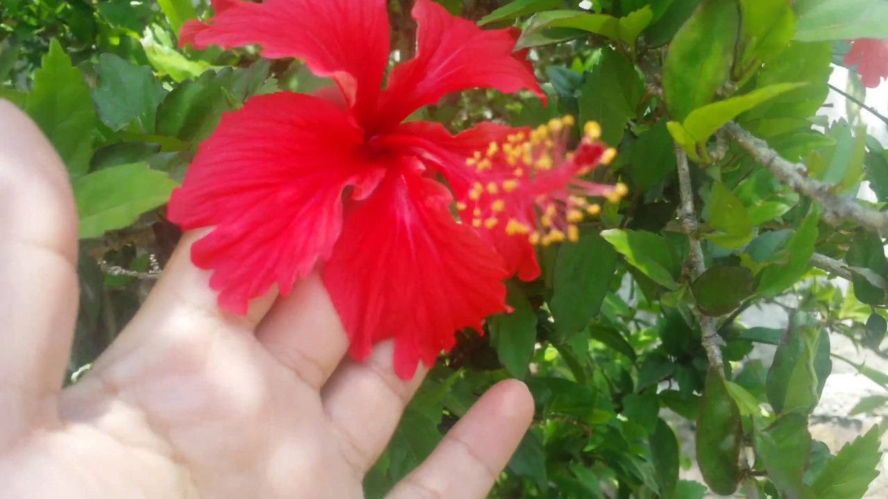 Hibiscus plant care and propagation youtube hibiscus plant care and propagation izmirmasajfo