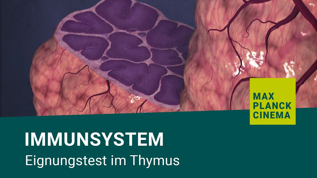 Immunsystem - Eignungstest im Thymus - YouTube