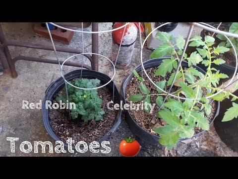 Celebrity And Red Robin Tomato Plants