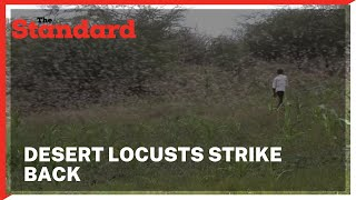 Outcry as desert locusts strike back destroying Isiolo farms