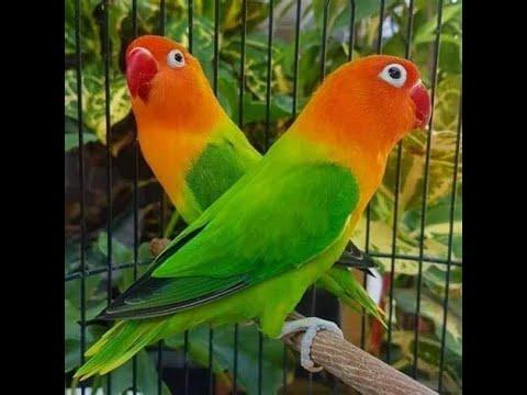 COBA CARA INI MEMANCING BURUNG LOVEBIRD, PASTI BUNYI MENDENGAR VIDEO INI.. LOVEBIRD SINGING