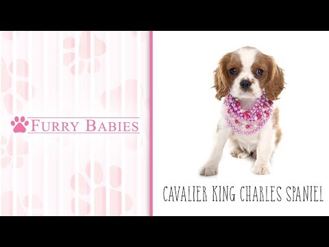 Is the Cavalier King Charles Spaniel the right breed for you?