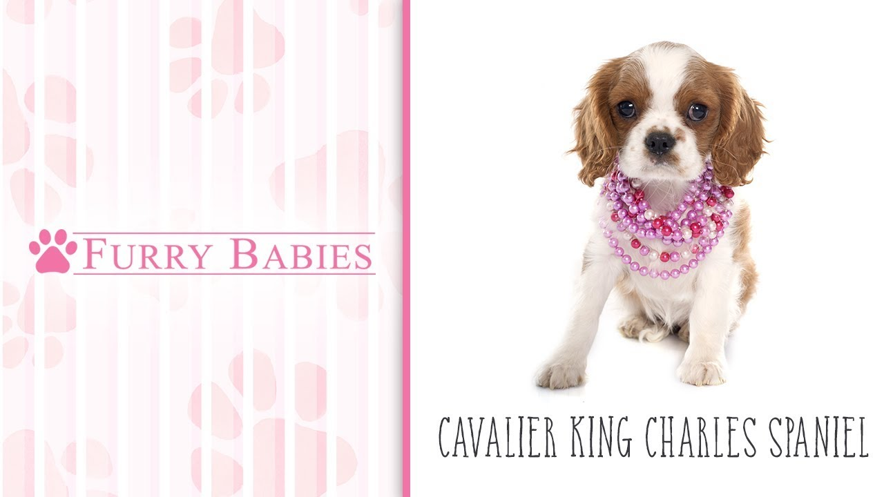 Cavalier King Charles Spaniel-DOG-Female-Blenheim-1919429