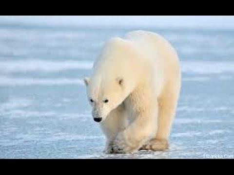 Hinterland Who S Who الدب القطبي