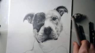 Drawing a Staffordshire Bull Terrier
