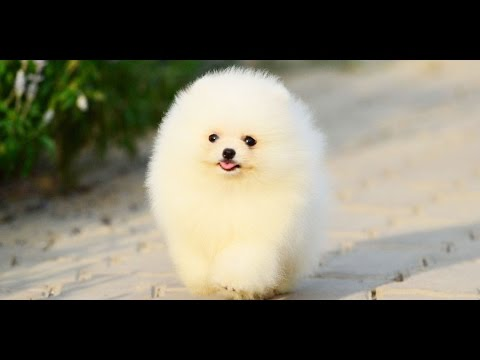Tiniest and Cutest Teacup Pomeranian Puppy