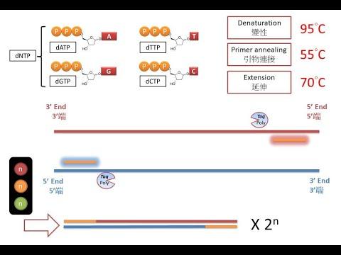 [萬眾期待 PCR] DSE Bio 聚合酶鏈反應 Polymerase Chain Reaction (2018)