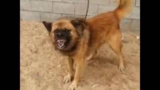 اشرس كلب بلدي في العالم - ماراح تصدق !!