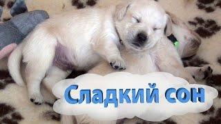 Сладкий сон щенка лабрадора. Щенкам 3 недели, о родословной.