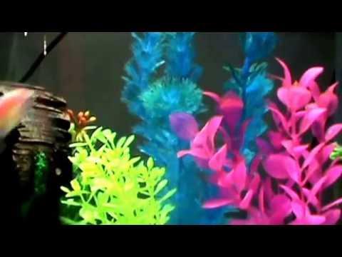 Spawning Glofish
