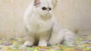Персидская кошка, серебристая затушеванная шиншилла